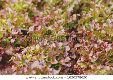 closeup red coral plants on hydrophonic farm stock photo © punsayaporn