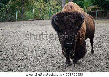 européenne · bison · famille · captivité · forêt · couple - photo stock © alinbrotea