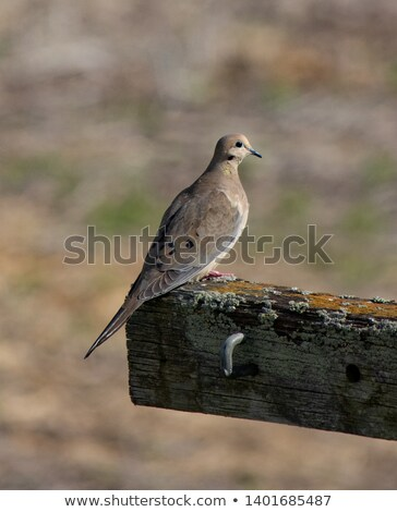 rouw · duif · post · vogel · zaad - stockfoto © pictureguy
