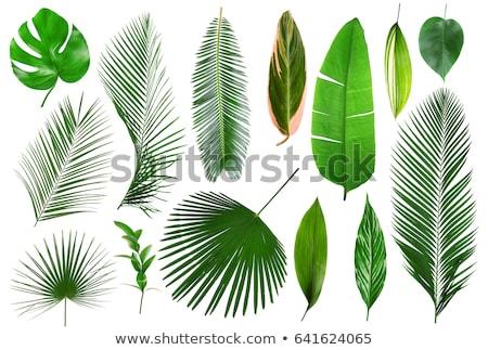 Gyönyörű zöld pálmalevél izolált fehér fa Stock fotó © tetkoren