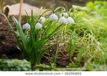 春 スノーフレーク 花 多年生植物 開花 工場 ストックフォト © AlessandroZocc