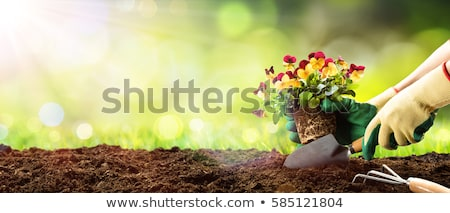 plant for garden pansies  Stock photo © OleksandrO