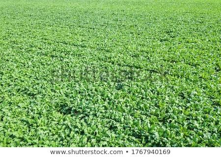 Rows of sugar beet plantation viewed from drone Stock photo © stevanovicigor