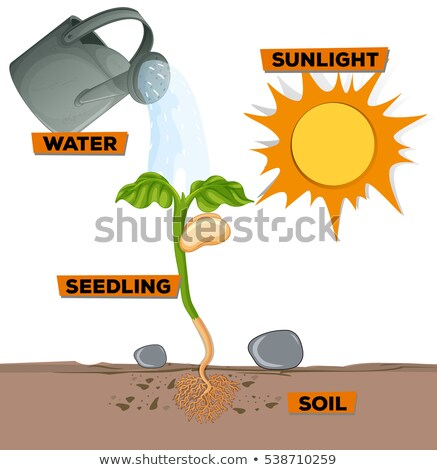 Diagram showing how plant grows Stock photo © bluering