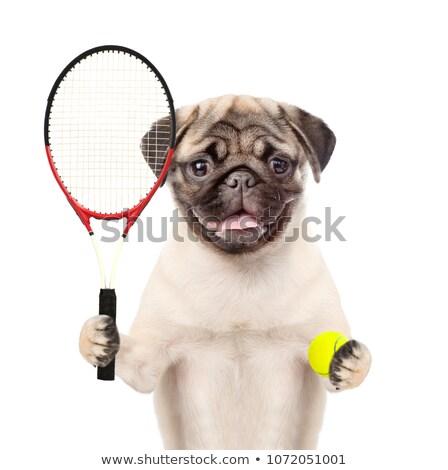 Dog tennis player holding racket and ball Stock photo © orensila