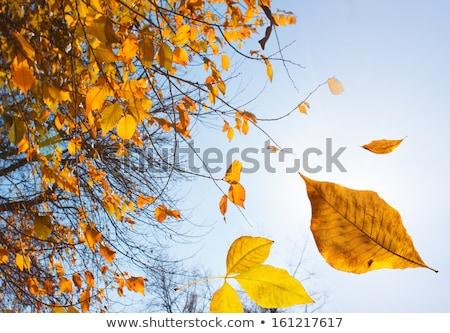 falling autumn tree leaf background close up stock photo © solarseven