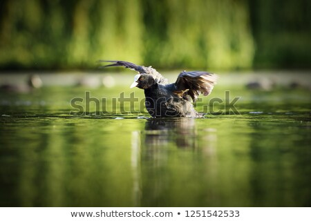 common coot taking flight from water surface Stock photo © taviphoto