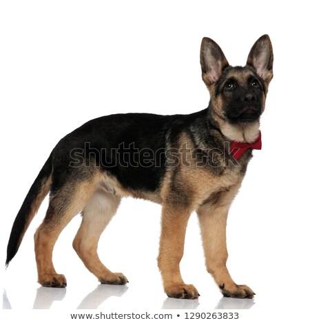 Vista lateral elegante lobo cão em pé Foto stock © feedough