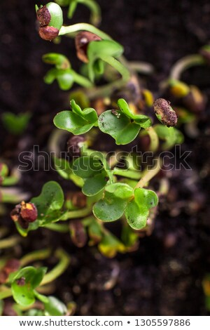 Fresh microgreens makro.  Healthy diet food. Background  Stock photo © Illia