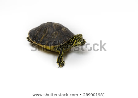 Yellow bellied slider turtle in natural environment view Stock photo © xbrchx