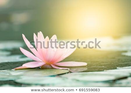 roze · lotus · meer · zon · bloem - stockfoto © jomphong