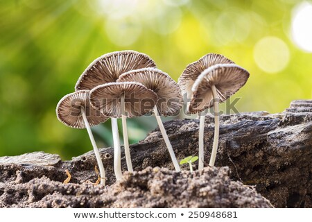 poisonous mushroom growing from log Stock photo © romvo