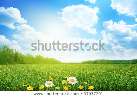 Papatya alan yeşil ot yaz manzara papatya Stok fotoğraf © vapi