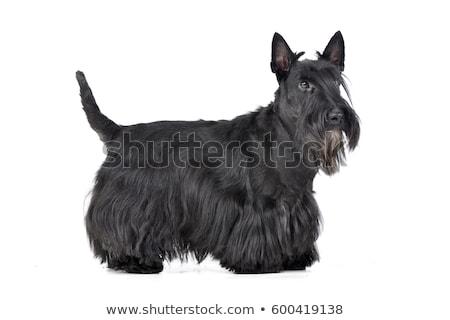Studio shot of an adorable Scottish terrier Stock photo © vauvau