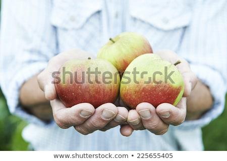 Senior Man On Allotment Holding Freshly Picked Apples Stock photo © HighwayStarz