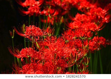 Orient flowers red background Stock photo © cienpies