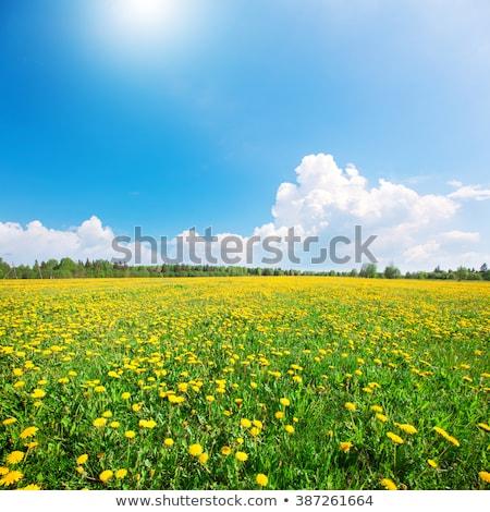 Gele bloemen blauwe hemel exemplaar ruimte bloem voorjaar landschap Stockfoto © johnnychaos