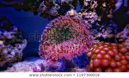 leather corals Stock photo © photohome