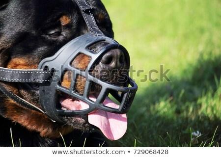 Rottweiler güvenlik siyah Stok fotoğraf © cynoclub