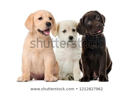 Haletant labrador retriever photos blanche fond portrait Photo stock © feedough