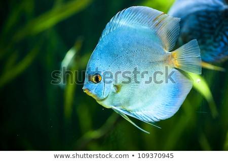 Kék gyémánt diszkosz hal közelkép lövés Stock fotó © macropixel