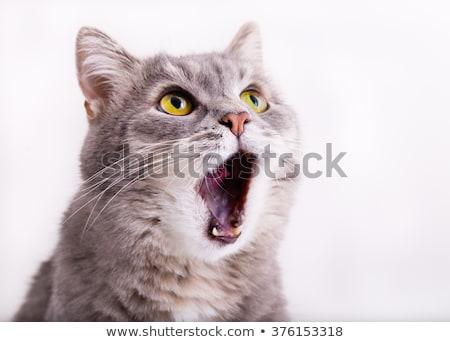 открытых кошки дома большой зевать Сток-фото © ca2hill