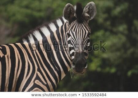 Burchell's zebras in the savannah Stock photo © TanArt