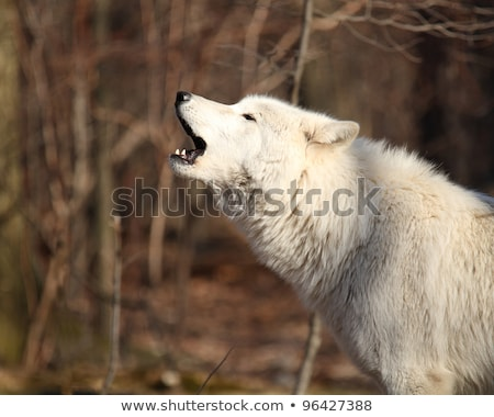 Norte americano lobo canino alfa Foto stock © cboswell