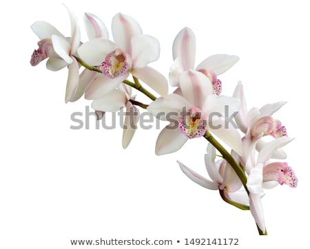 Cymbidium flower Stock photo © varts