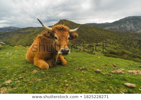 cows grazing and looking astonished Stock photo © meinzahn