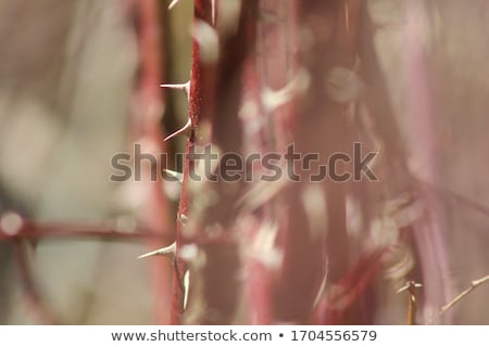 Rose and Thorn Macro close Stock photo © pictureguy