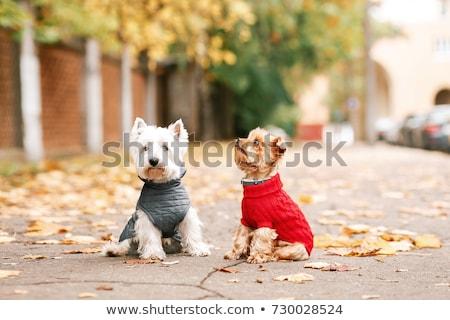 çift · köpek · yavrusu · köpekler · oturma · beyaz · sevimli - stok fotoğraf © gemenacom