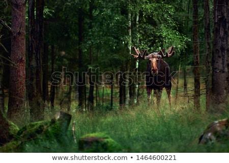 Gyönyörű erdő jávorszarvas illusztráció hatalmas mosoly Stock fotó © Dazdraperma