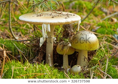 Wild amanita mushroom in a forest Stock photo © juniart