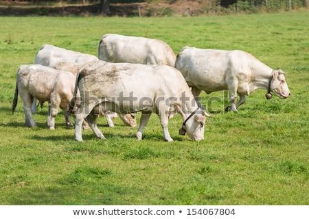 Blondes d'Aquitaine cows Stock photo © tilo