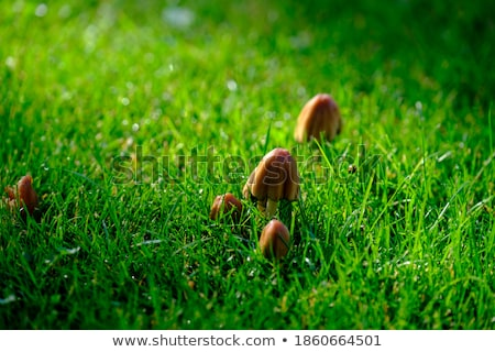 Brown toadstools in forest Stock photo © ivonnewierink