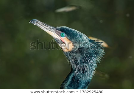 Great Cormorant (Phalacrocorax carbo) Stock photo © dirkr