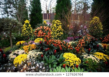 Krizantem çiçek bahçeler doğa papatya renk Stok fotoğraf © tang90246
