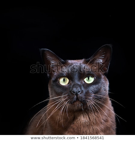 Burmese cat Stock photo © eriklam