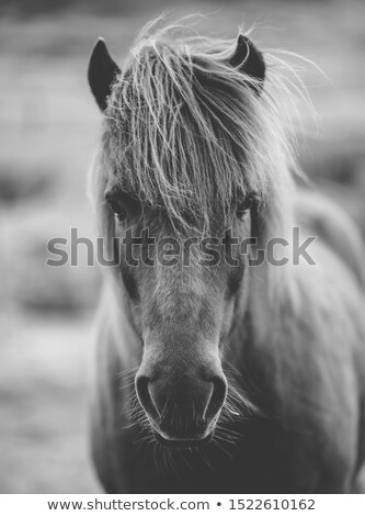 Portrait of a black and white Icelandic pony Stock photo © kb-photodesign