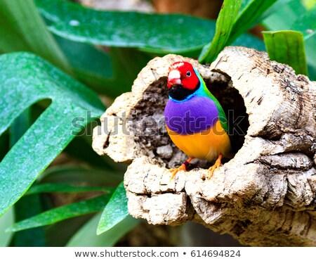 colorful bird amadina sitting on a tree chloebia gouldiae stock photo © nobilior