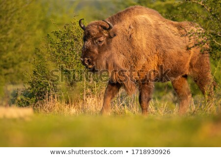 Bison in the green of spring steppe Stock photo © macsim