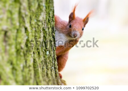cute squirrel playing in leaves stock photo © lightsource