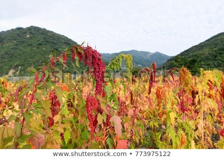 Cabeza planta flores rojas creciente Foto stock © sarahdoow