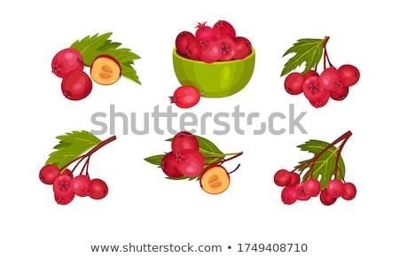 vector red hawthorn Set stock photo © VetraKori