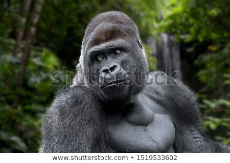 Goryl dżungli powyżej trawy charakter drzew Zdjęcia stock © colematt