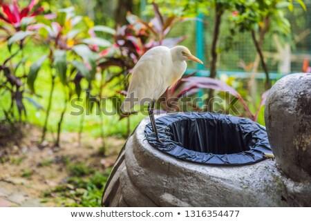 Little Egret Cattle egret Bubulcus ibis Waters Edge digging in t Stock photo © galitskaya