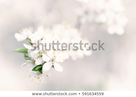 gruszka · kwiat · makro · widoku · białe · kwiaty · drzewo - zdjęcia stock © vapi