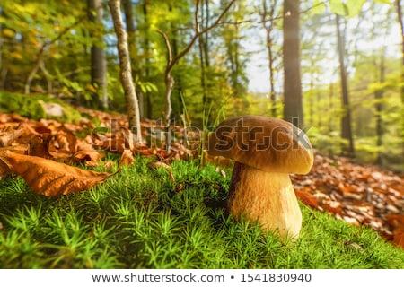 Nice cèpes feuillus forêt automne champignons Photo stock © romvo