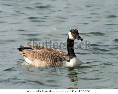 утки Вена плаванию пруд Сток-фото © photoblueice